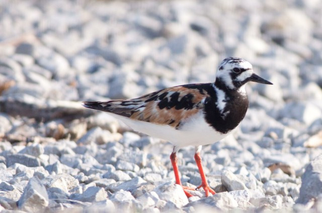 Ruddy_Turnstone_Shutes_Branch_-20150811-IMG_9569a