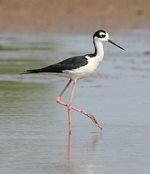 Black-necked stilt 150x174