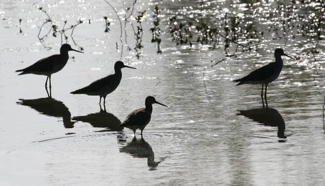 Greater yellowlegs in silo 768x441