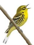 yellow_rumped_warbler