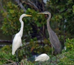 Great Egret + Great Blue Heron - White Rock Lake